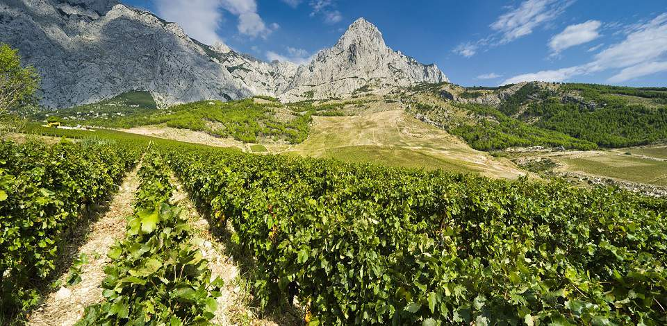 Vineyards and wines in Croatia